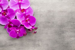 Beautiful pink orchid on a gray background. Stock Image