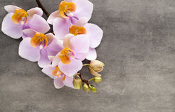Beautiful pink orchid on a gray background. Royalty Free Stock Photo