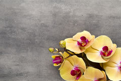 Beautiful pink orchid on a gray background. Royalty Free Stock Photography
