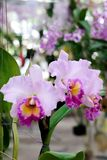 Beautiful pink orchid isolated in nature. Background royalty free stock image