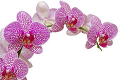 Beautiful pink orchid isolated on white stock images