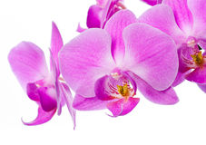 Beautiful Pink Orchid Stock Photography