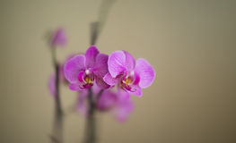 Beautiful pink orchid. A lovely purple orchid flower close up, on a monotonous background of light green and beige color, perfect for a postcard and inscription Stock Images
