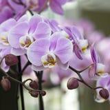 Beautiful pink orchid  - phalaenopsis Royalty Free Stock Image
