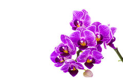Beautiful pink orchid  - phalaenopsis Royalty Free Stock Images