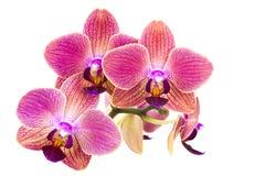 Beautiful pink orchid  - phalaenopsis Stock Photography