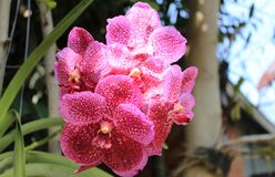 Pink orchid planted at home.