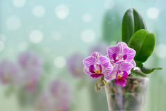 Beautiful pink orchid. Selective focus on lower inflorescence, shallow DOF Stock Photography