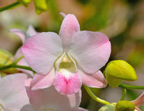 Beautiful pink orchid,Thailand Stock Images
