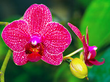 Beautiful pink orchid vanda. The beautiful pink orchid vanda Stock Photos
