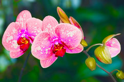 Beautiful pink orchid vanda. In a garden Stock Images