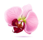 Beautiful pink orchid vector flower royalty free illustration