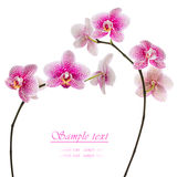 Beautiful pink orchid on a white background Stock Image