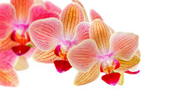 Beautiful pink orchid on  white Royalty Free Stock Photo