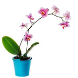 Beautiful pink orchid on a white background Royalty Free Stock Photo