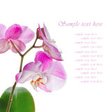 Beautiful pink orchid on a white background Stock Images