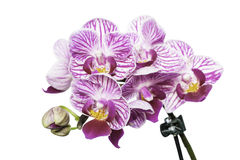 Beautiful pink orchid. White background. Selective focus on lower inflorescence, shallow DOF Stock Images
