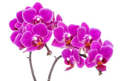 Beautiful pink orchid on white Stock Photos