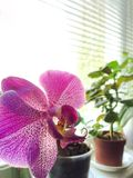 Beautiful pink orchid on a window sill. Blurred background royalty free stock images