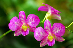 Beautiful Pink Orchids stock photography