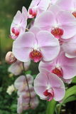 Beautiful pink orchids Royalty Free Stock Photography