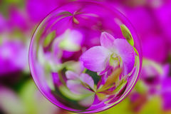 Beautiful Pink Orchids in glass ball effect  with blurred Orchids garden background Royalty Free Stock Photography