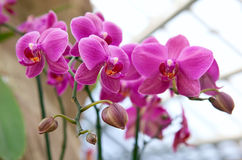 Beautiful pink orchids in greenhouse Stock Photography