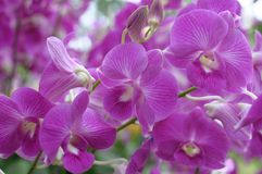 Beautiful Pink Orchids Royalty Free Stock Image