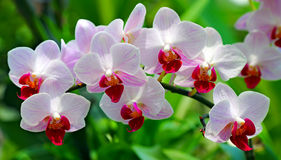 Beautiful pink orchids Royalty Free Stock Images