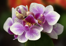 Beautiful pink orchids. With waterdrops Stock Image