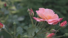 Beautiful pink pale  rose blossom in rose garden stock video footage
