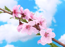 Beautiful pink peach blossom Stock Image