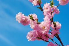 The beautiful pink peach blossom in blue sky Royalty Free Stock Photography
