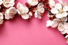 Beautiful pink peach blossom. flowering peach tree on a pink background royalty free stock photo
