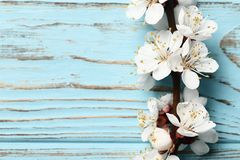 Beautiful pink peach blossom. flowering peach tree on a blue wooden background stock photography