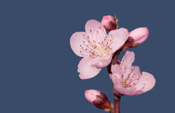 Beautiful pink peach flower in spring Stock Photos
