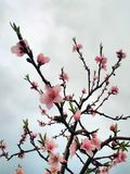Beautiful Pink Peach Flowers royalty free stock image