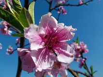 Beautiful Pink Peach Flowers stock photography
