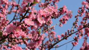 Beautiful pink peach tree flower blossoms in Japan during spring 2016 stock video footage
