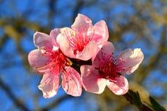 Beautiful pink  peach tree blossoms Royalty Free Stock Photo
