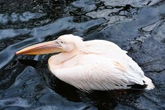 Beautiful pink pelican bird on the lake Stock Photography