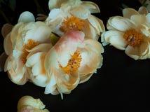 Free Beautiful Pink Peonies. Royalty Free Stock Photos - 122586948