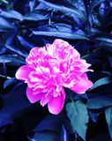 Beautiful pink peonies in the flower bed royalty free stock photos