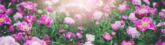 Beautiful pink peonies flowers, greens and bokeh lighting in the garden, summer outdoor floral nature background Stock Image