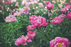 Beautiful pink peonies flowers, greens and bokeh lighting in the garden, summer outdoor floral nature background. Spring and summer landscape Stock Images