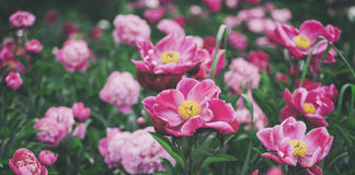 Beautiful pink peonies flowers, greens and bokeh lighting in the garden, summer outdoor floral nature background Stock Photo