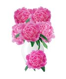 Beautiful pink peonies in glass vase with bow isolated on white Royalty Free Stock Photos