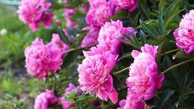 Beautiful pink peonies grow in the garden. Close-up stock video