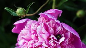 Beautiful pink peonies grow in the garden. Close-up stock video footage