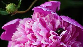 Beautiful pink peonies grow in the garden. Close-up stock footage